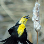 Yellow headed blackbird (photo - H. Westheuser)