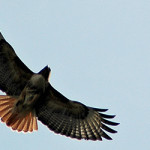 Red tailed hawk - (photo - H. Westheuser)