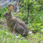 Snowshoe hare (photo - J. Steeves)