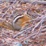 Chipmunck  (photo - J. Steeves)