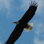 Bald eagle (photo - H. Westheuser)